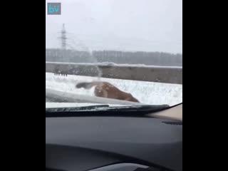 В Уфе пёс несколько часов сторожил тело другой собаки, которую сбили на трассе.