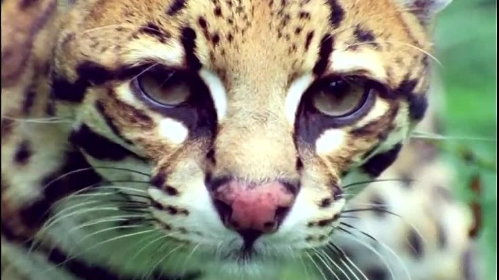 BBC Жизнь на Земле 11 Охотники и жертвы