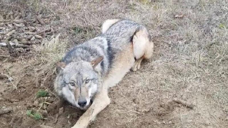 Cái bẫy thật nguy hiểm của thợ săn Trên đời này còn nhiều Lòng tốt Giải Cứu động vật
