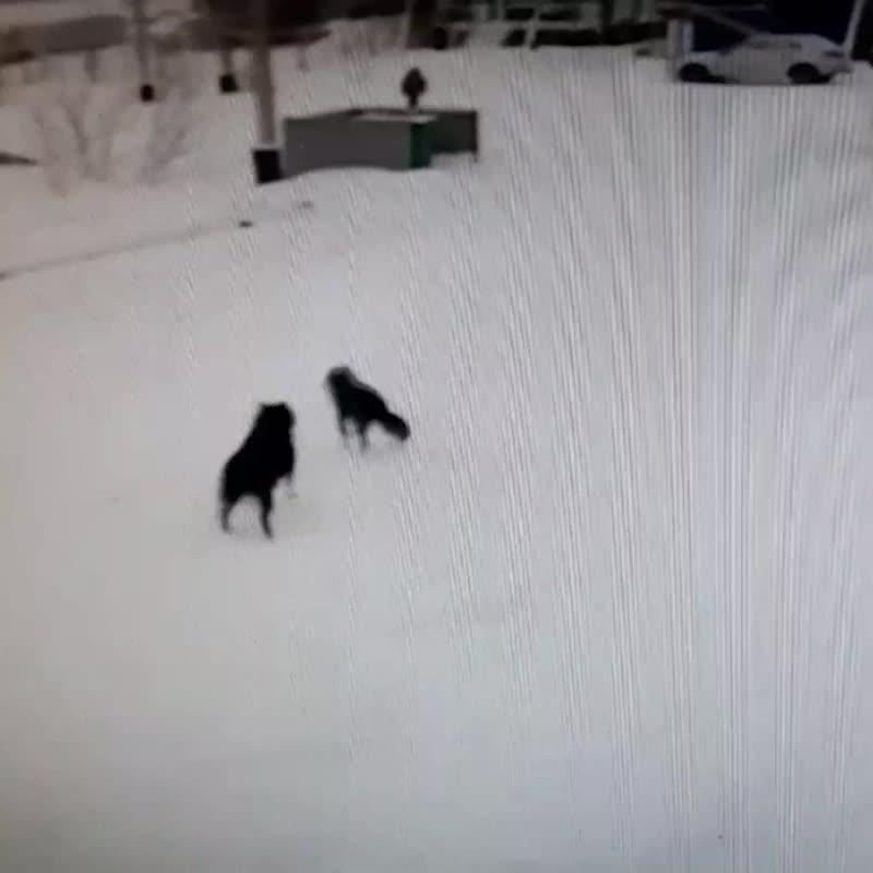 В Приуральском районе стая собак напала на ребёнка