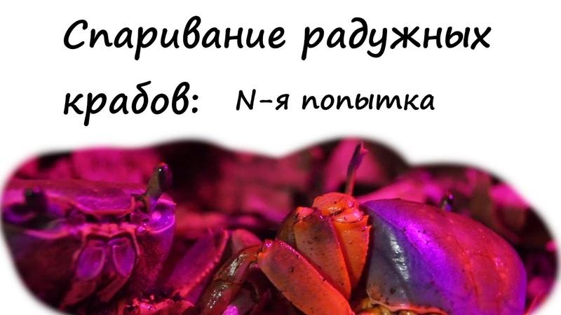 Радужный краб N я попытка размножения Cardisoma Armatum crab