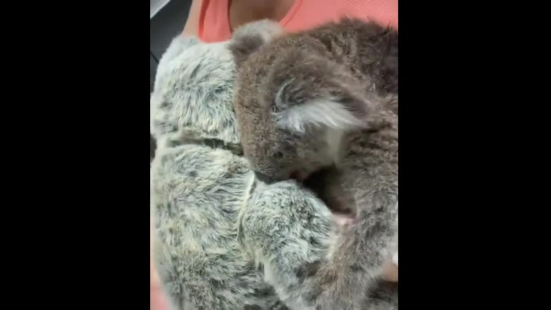The baby koala lost her mother in the Australian bushfires Vet tries to console the baby by giving her a teddy bear vetpaulramos