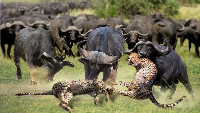 Báo độm nhận trái đắng thảm bại đụng nhầm con trai quân đội mạnh nhất châu phi Sư tử Con sợ