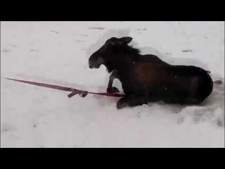 В Тверской области спасатели вытаскивали из Волги провалившихся под лед лосей