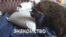 новое знакомство кот crazy знакомится с морскими свинками панком и роком