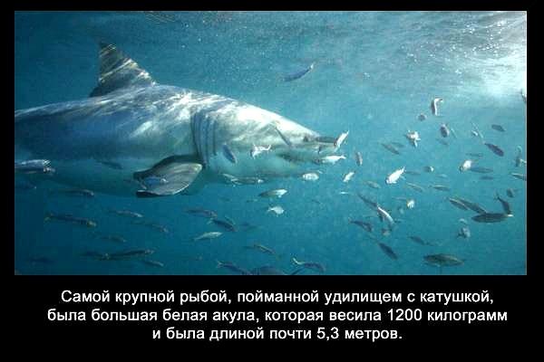 валтея - Интересные факты о акулах / Хищники морей.(Видео. Фото) ZPF87HTdeUE