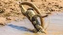 Анаконда Против Крокодила! Версус Тигра, Медведя и Гепарда. Дикие Животные в Деле
