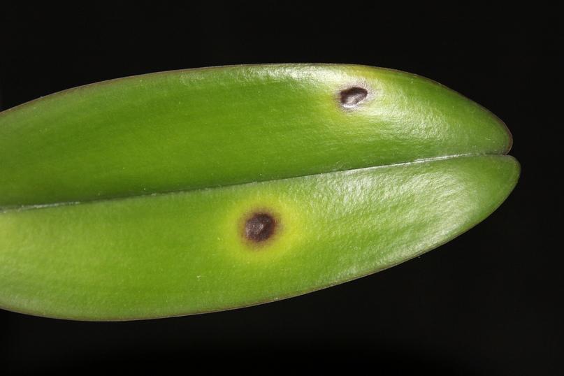 Пятнистость листьев орхидеи: чем вызвана и как лечить?, изображение №4