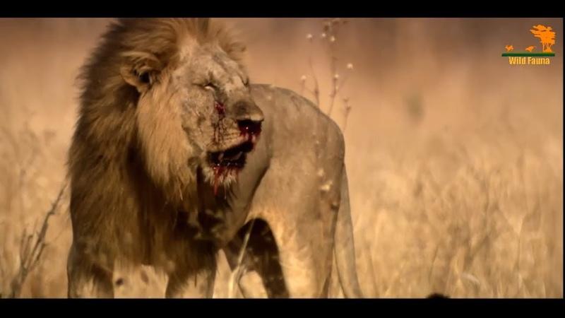 Wild Fauna Битва прайдов Lion Kingdom 3 Кровная вражда