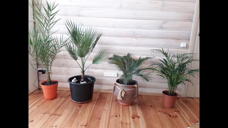 Комнатные пальмы Ховея Цикас Вашингтония Финик