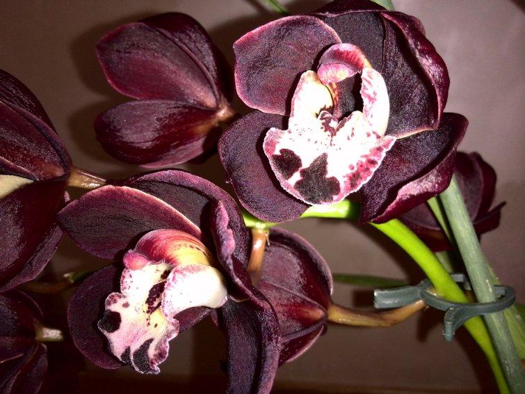 Орхидеи фото описание: яркие фото и подробные описание экзотических цветов орхидей.