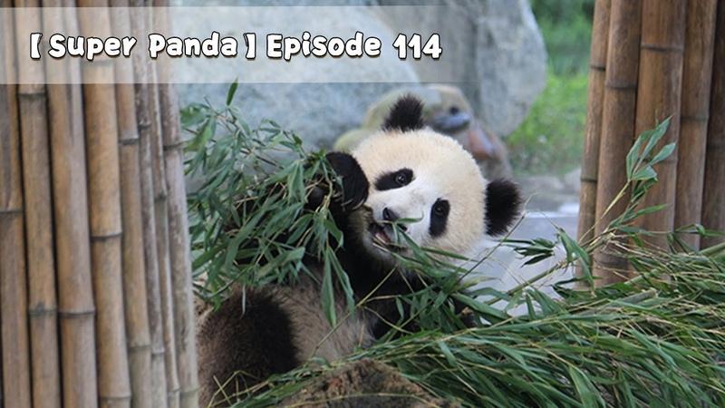 【Super Panda】Episode 114 | iPanda