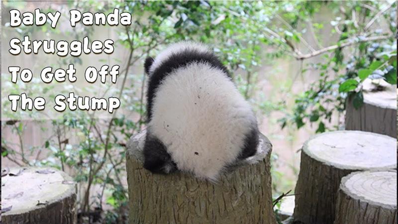 Chubby Baby Panda Struggles To Get Off The Stump iPanda