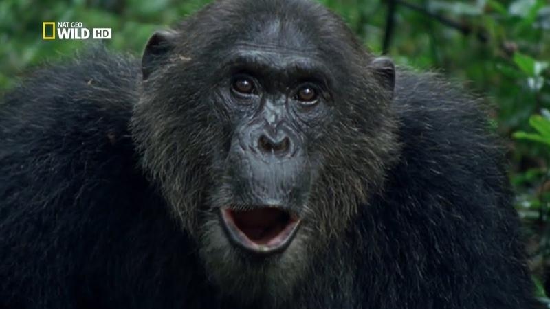 Королевство обезьян Часть 1 Битва королей Документальный National Geographic