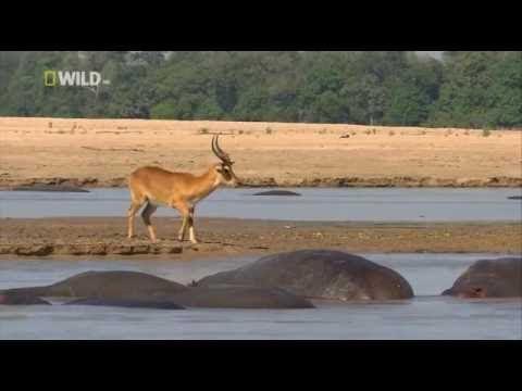 Самый большой крокодил в мире Жестокий мир крокодилов National Geographic