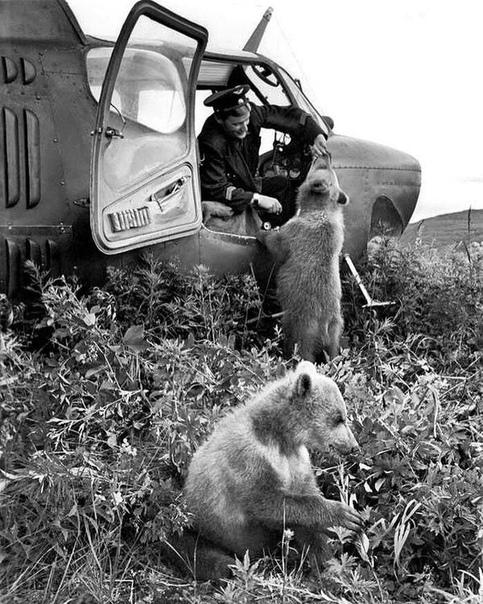 Медвежата у вертолета, Камчатка, 1962 год.