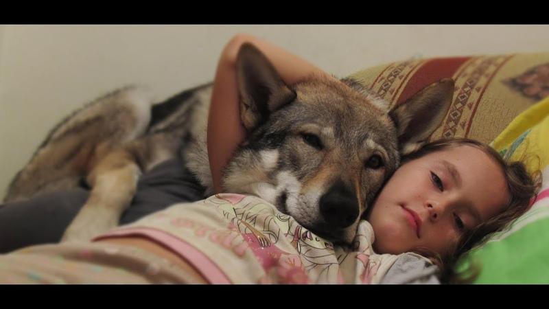 Сzechoslovak Wolfdog. Чехословацкий влчак. Коротко от щенка до двухлетнего пса. Собачья жизнь
