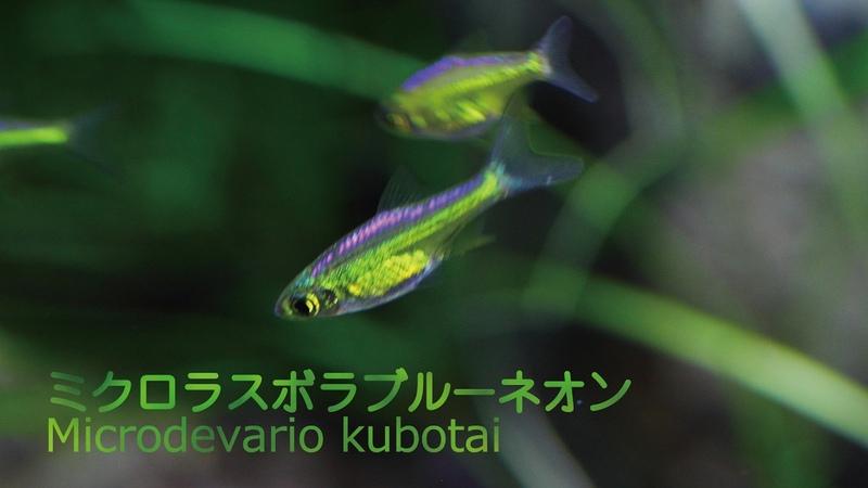 38.ミクロラスボラブルーネオン 透明感ある輝きが美しい熱帯魚 Microdevario kubotai