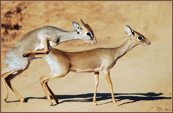 Самая маленькая антилопа в мире. Дик-дики одни из самых маленьких антилоп, чья длина тела в зависимости от вида составляет примерно 45-80 сантиметров, а высота в холке достигает 30-35