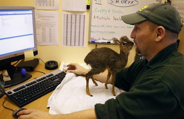 Самая маленькая антилопа в мире.