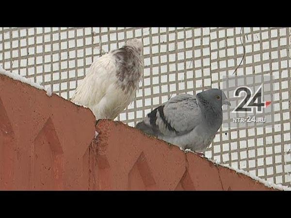 В Нижнекамске ищут хозяев породистых голубей