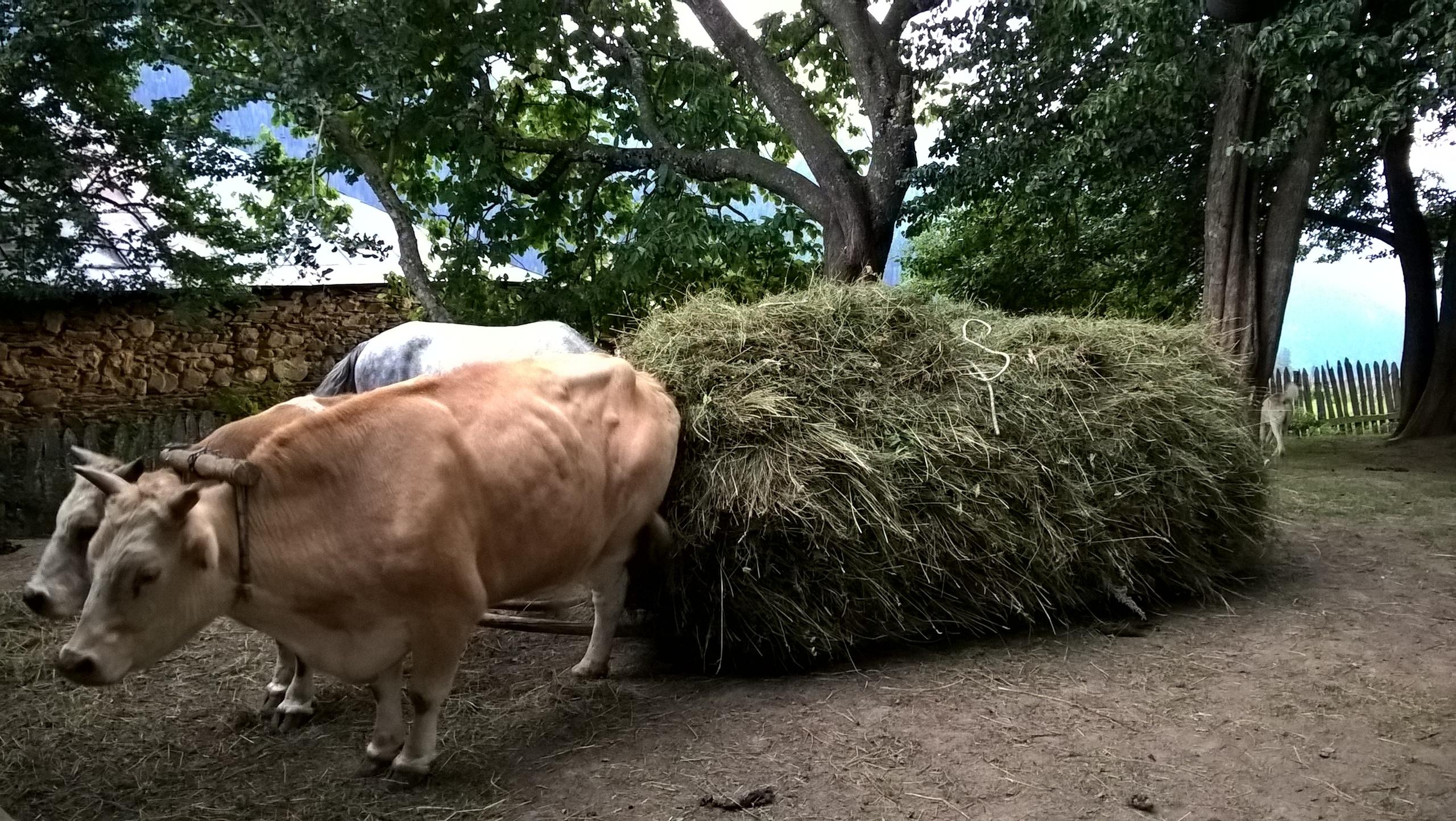 быки мускулистые Сырую траву