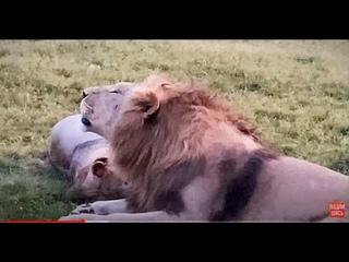 Молодые львы УЧАТСЯ РЫЧАТЬ как взрослые!