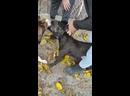собака бои Эстонка и Питбуль