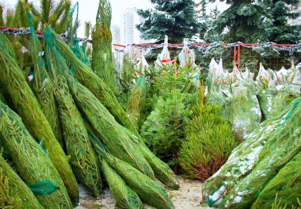 В Симферополе началась подготовка к реализации хвойных растений, растительные символы Нового года можно будет приобрести по адресам: