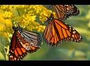Невероятное путешествие бабочек / The Incredible Journey of the Butterflies HD