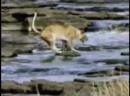 Львица, гиена и крокодилы охотятся на миграциях