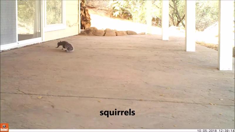 Животные пытаются проникнуть в дом Белки, павлины и семья енотов гуляют по террасе