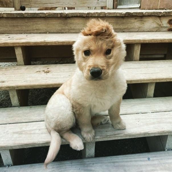В результате неизвестных обстоятельств при рождении у щенка осталось всего одно ушко По мере его роста, ушко сместилось ближе к макушке и теперь щенок напоминает маленького