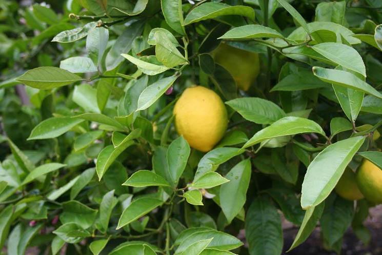 coekGMgOFcg - Как я выбирал лимонное дерево
