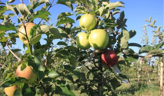 Яблоня саженец цена Краснодар