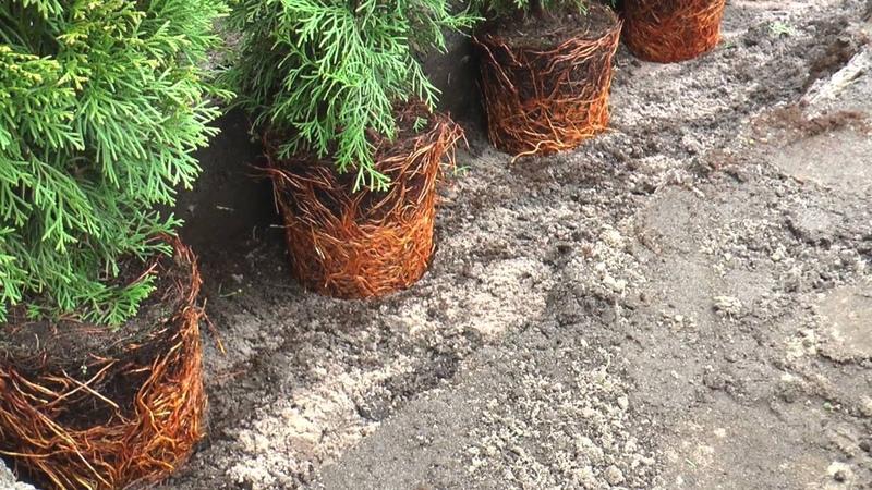 Planten van een coniferenhaag