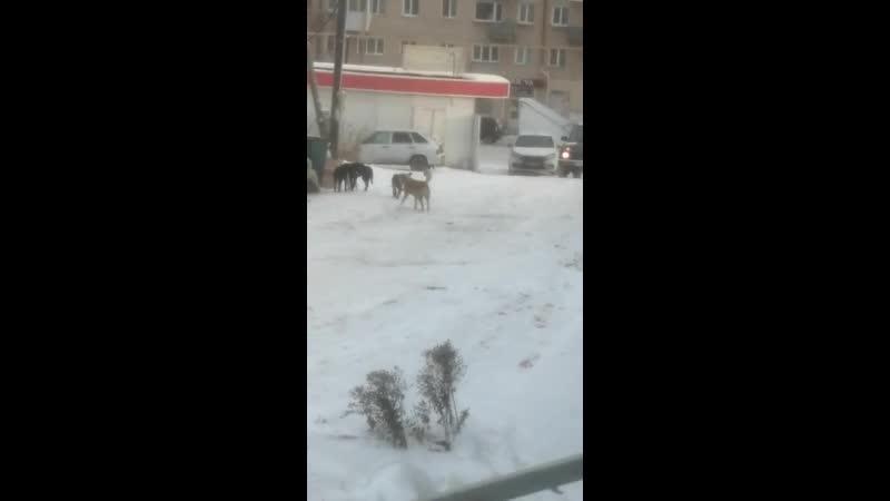 Передвижение по городу Юрюзани становится не безопасным Стаи голодных и агрессивных собак бегают по города вселяя страх