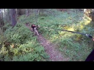 Умка и Арура дог-дрекинг в Карелии
