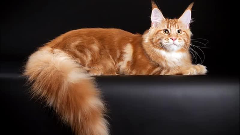 Кот ГИГАНТ. Порода Мейн кун. Породы кошек