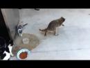 Голубой воришка (Кошки и Енот)