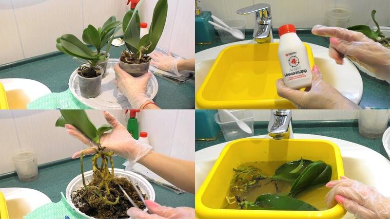 СПАСАЮ орхидеи ЕЛЕ живые уценки НОВЫЙ инсектицид мои БОЛЬШИЕ НАДЕЖДЫ