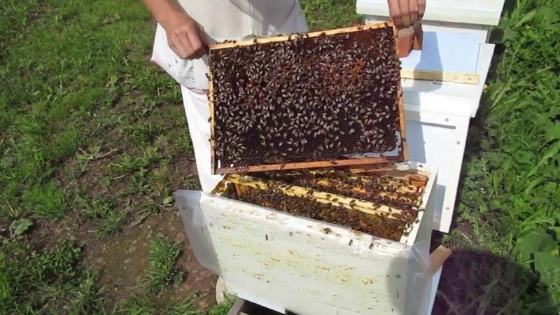 Понятия матка трутовка безматочная семья пчелы сироты