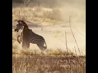 A thrilling moment as a single lioness takes on a zebra rolling in the dirt 🙌🏽⁣
