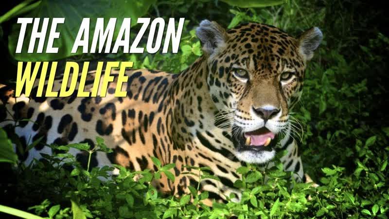 Самые опасные животные в мире Амазония Документальный фильм National Geographic