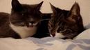 Два говорящих кота